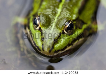 green frog sitting in a lagoon