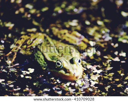 Green frog sitting in the duckweed on still ponds water