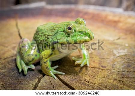 Green frog sitting on a tree stump - stock photo
