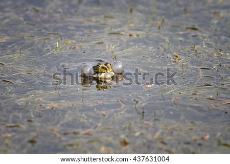 green frog swims in the swamp blowing his cheeks