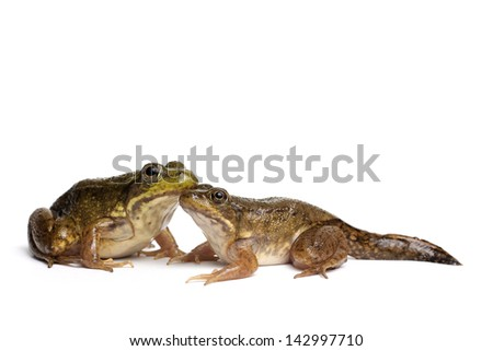Green frog with tail (Rana clamitans) on a white background