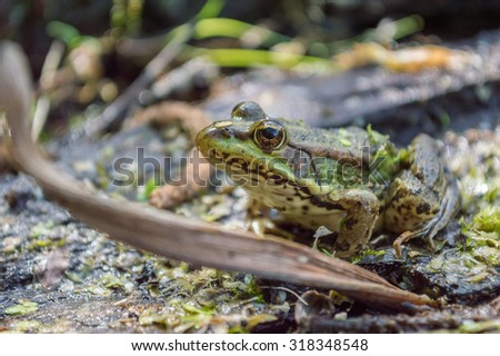 Green frog with yellow eyes among the algae on the marsh