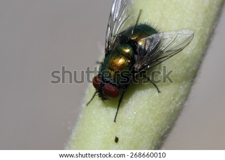 Green Fruit Fly - stock photo