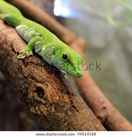 green gecko lizard - stock photo
