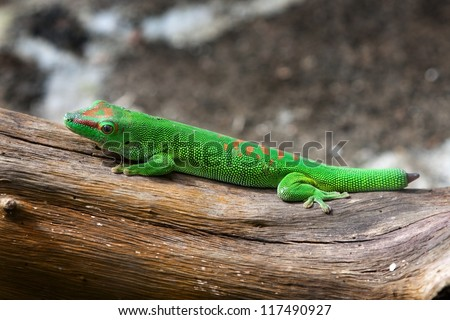 Green gecko with cut and regenerating tail