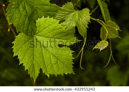Green grape leaves in the morning dew.