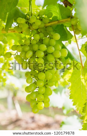 Green Grapeon the vine  in vineyard before harvest - stock photo