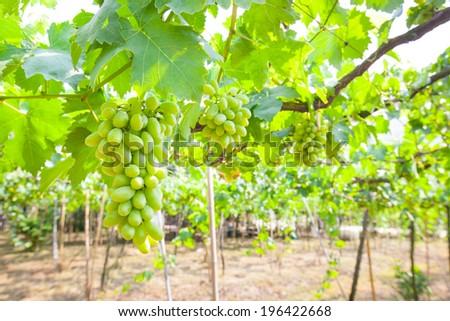 Green grapes garden Thailand - stock photo