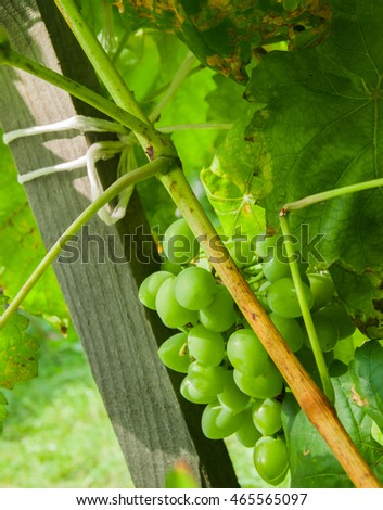 Green Grapes on branch - background
