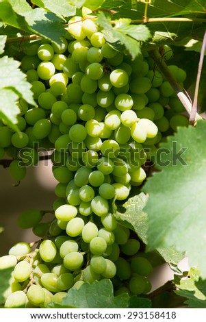 green grapes on the branch - stock photo