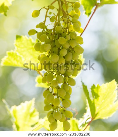 green grapes on the nature - stock photo