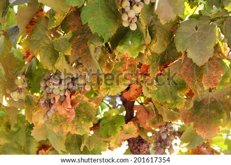 Green grapes on vine over blue sky background