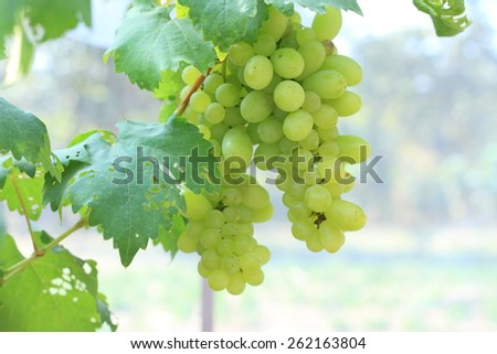 Green grapes on vine sunset time - stock photo