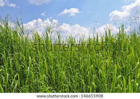 Green grass and blue sky covered with clouds. Sunny day in early summer.