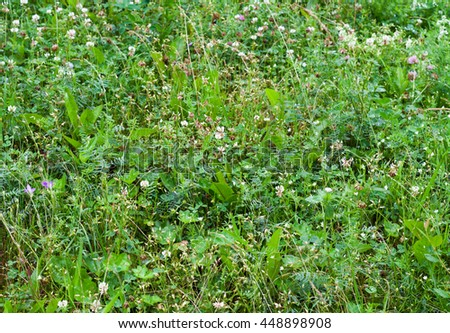 Green grass and clovers with blue reflection of sky and water drops on it in rainy day. Grass background.  - stock photo