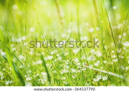 Green grass and little white flowers in the sunlight. Macro image. Beautiful summer background.  - stock photo