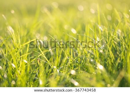 Green grass background bokeh blur. - stock photo