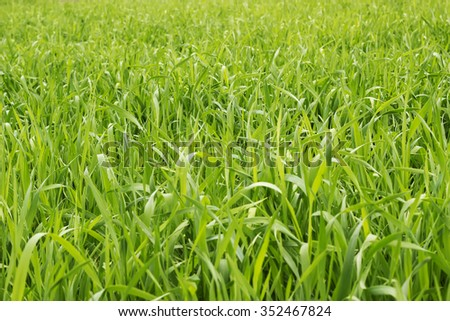 Green grass background texture. Element of design.