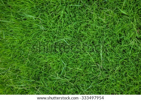 Green grass background texture. fresh spring green grass.