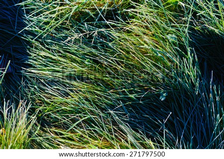 Green grass blades covered in frost, Stowe, Vermont, USA - stock photo