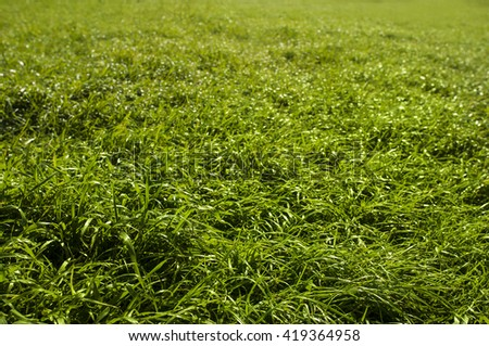 Green grass field. Natural texture. Warm afternoon light. Detailed picture. Close-up image. - stock photo