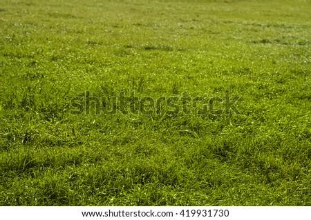 Green grass field texture. Natural background. Warm sunlight. - stock photo