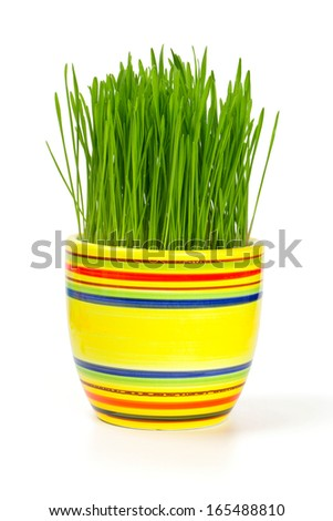 green grass in a colorful flowerpot isolated on white background - stock photo