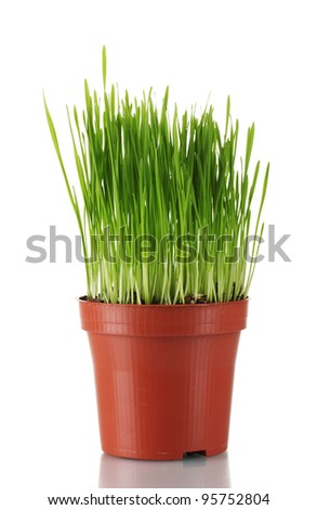 Green grass in a flowerpot isolated on white