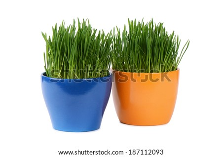 Green grass in pot isolated on white