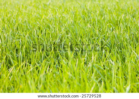 green grass in the garden closeup photo