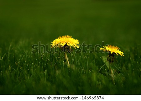 Green grass lawn with yellow dandelions growing - stock photo