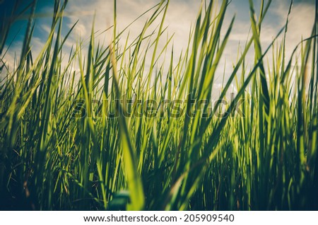 Green grass meadow field in the rice field Thailand background vintage - stock photo