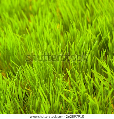 Green grass. Natural background. Macro perspective. Nobody. Easter. - stock photo