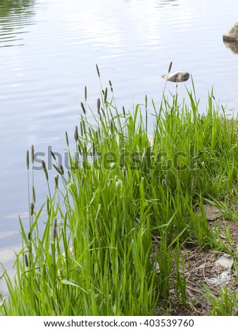 Green grass on the shore of the pond - stock photo