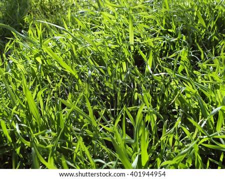 Green grass on wind in sunshine - stock photo