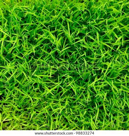 green grass rice - stock photo