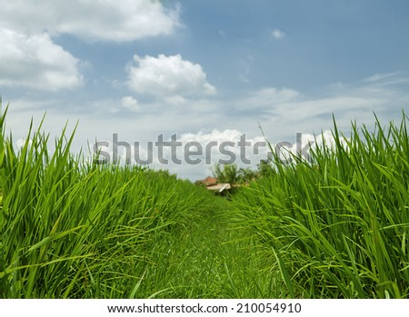 Green Grass rice field - stock photo