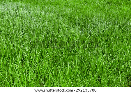 Green grass seamless texture.  grass background.  Beautiful green grass - stock photo