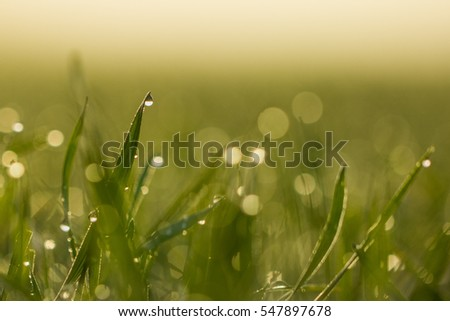 Green grass stems covered with droplets on a sunny morning. Close up shot of droplets.Natural, fresh start of the day. Peaceful, calm, idyllic.