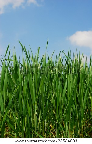 Green grass stems under blue sky