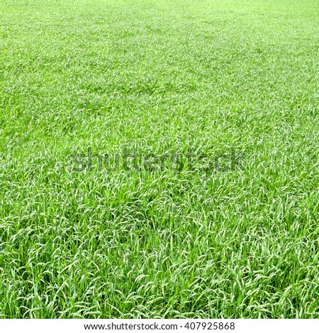 Green grass texture (green of young wheat in early summer) on field - stock photo