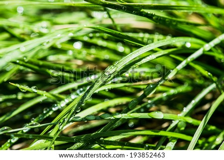 Green grass wet. Wet blades of green grass on a flowerbed. Drops of fresh water on blades. High contrast macro photo.
