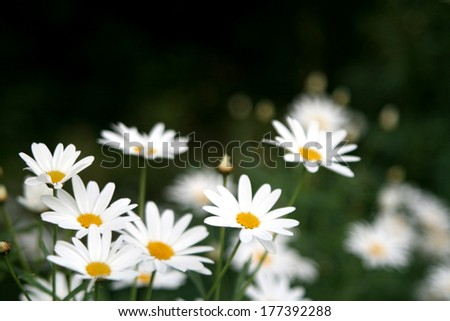 green grass with daisy. there is blur  at the background