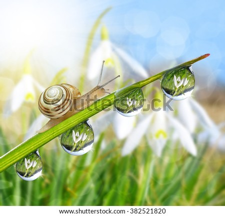 Green grass with dew drops and snail in the background snowdrops. Spring season. - stock photo