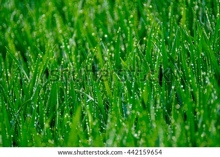 Green grass with dew drops illuminated the sun