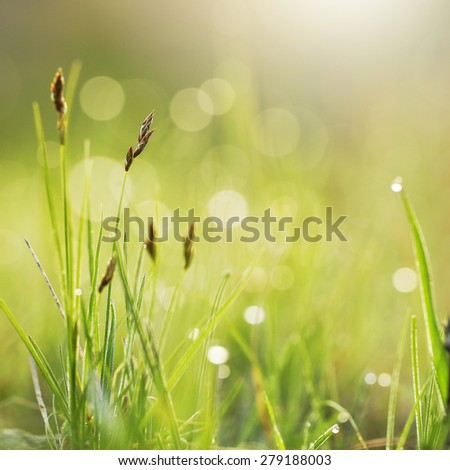 Green grass with dew in field. Morning fresh outdoor nature background