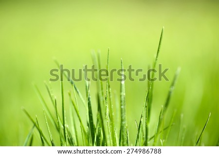 Green grass with dew on nature background, close up - stock photo