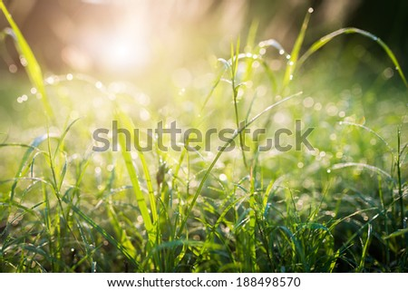 Green grass with dew on the top in fresh morning, Nature background - stock photo