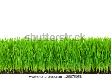 Green  Grass with Fertile Soil and Drops Dew / isolated on white with copy space - stock photo