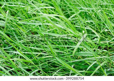 Green grass with raindrops nature background, Grass blown by the wind in the morning - stock photo